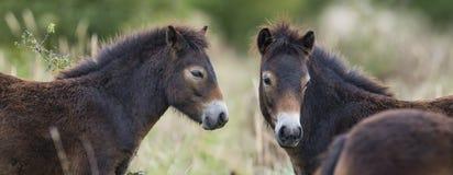Exmoor ponies Stock Image