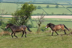 Exmoor Ponies Royalty Free Stock Photo