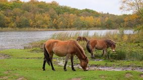Exmoor Ponies In Sutton Park, Sutton Coldfield Stock Photos