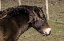 Exmoor ponny royaltyfri fotografi