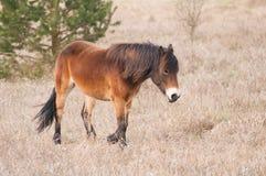 Exmoor ponny royaltyfria foton