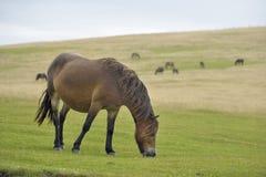 Exmoor ponny Royaltyfri Bild