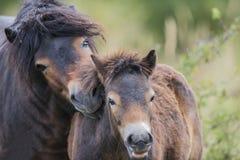 Exmoor ponny Milovice Arkivbilder