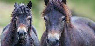 Exmoor ponnyer Royaltyfria Foton