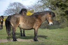 Exmoor ponnyer Arkivbilder