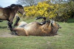 Exmoor ponnyer Arkivfoto