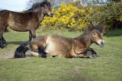 Exmoor ponnyer Arkivbild