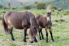 Exmoor ponnyer, sto och föl wild hästar Arkivbilder