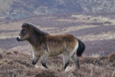 Exmoor pony Royalty Free Stock Photo
