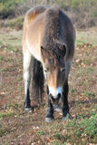 Exmoor pony Stock Photography