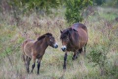 Exmoor-Pony lizenzfreies stockbild