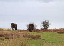 Exmoor pony ancient breed Royalty Free Stock Photo