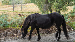 Exmoor Pony in the  Ashdown Forest Stock Photography
