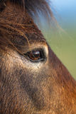 Exmoor Pony close up of the eye Royalty Free Stock Image