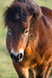 Exmoor Pony close up of the head Stock Photos