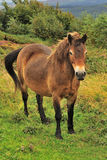 Exmoor Pony (Equus ferus caballus) Royalty Free Stock Photos