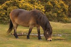 Exmoor pony grazing Stock Photo