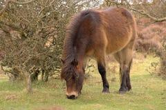 Exmoor pony grazing Stock Photography