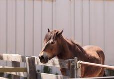 Exmoor pony Equus ferus caballus Stock Photos