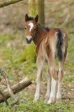 Exmoor Pony Foal royalty-vrije stock foto's