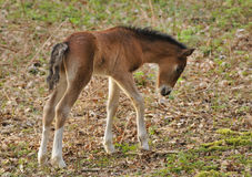 Exmoor Pony Foal stock afbeelding