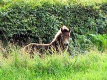 Exmoor Pony Foal Images libres de droits