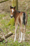 Exmoor Pony Foal Royalty Free Stock Photos