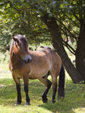 Exmoor pony in forest Royalty Free Stock Photo