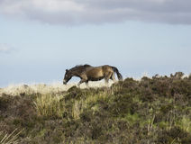 Exmoor pony Stock Image