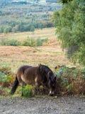 Exmoor Pony Grazing im Ashdown-Wald lizenzfreie stockbilder