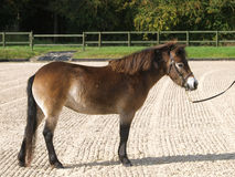 Exmoor Pony im Erscheinen-Ring Lizenzfreie Stockfotos