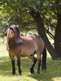 Exmoor Pony im Wald Lizenzfreies Stockfoto