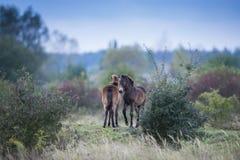 Exmoor pony Milovice stock photo