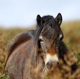 Exmoor Pony Royalty Free Stock Photography