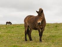 Exmoor Pony Quantock Hills Somerset England Großbritannien Stockbilder