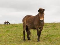Exmoor Pony Quantock Hills Somerset England UK Royalty Free Stock Images