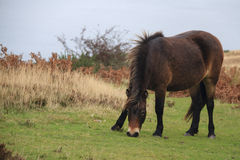 Exmoor pony rare breed Royalty Free Stock Images