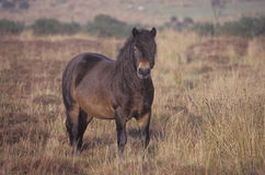 Exmoor pony Stock Images