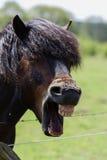 Exmoor Pony - Stallion Royalty Free Stock Photos