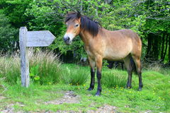 Exmoor pony and wooden signpost. A semi-feral Exmoor Pony Equus ferus caballus standing by a signpost marker in Exmoor National Park in Somerset, England royalty free stock photo