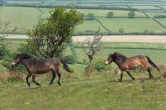 Exmoor-Ponys Lizenzfreies Stockfoto