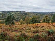 Exmoor-Ponys, die im Ashdown-Wald weiden lassen Lizenzfreies Stockfoto