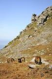 Exmoor Ponys Linton Lizenzfreie Stockbilder
