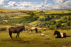 Exmoor Wild Ponies Stock Photo