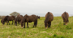 Exmoor wild Ponies Quantock Hills Somerset England UK Royalty Free Stock Photo
