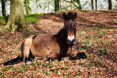 Exmoor Wild Pony Royalty Free Stock Images
