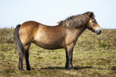 Exmoore Pony Winsford hill Somerset England United Kingdom. Royalty Free Stock Image