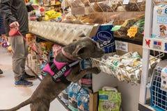 Exmouth, Devon, UK, 6 Απριλίου, 2019: Ένας τύπος pitbull σκυλιού σε ένα κατάστημα τροφίμων κατοικίδιων ζώων που ρουθουνίζει έξω μ στοκ φωτογραφία με δικαίωμα ελεύθερης χρήσης