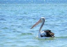 Pelikan in Exmouth. Stockfotos