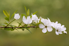 Exochorda X Macrantha `The Bride` Flowers Royalty Free Stock Photography
